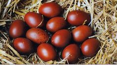 The goose that lays golden eggs is in the Orne - France 3 Basse-Normandie. In recent months, the Marans, rustic chicken made the fortune of two pensioners living in the Orne. This ancient breed, whose original cradle is the Poitou-Charentes, lays eggs red popular worldwid !