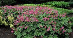 Image result for geranium macrorrhizum Geranium Macrorrhizum, Main Street, Plants, Image, Google, Geraniums, Planters, Plant, Planting