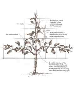 Really good article on Espalier.  Train and prune your tree into shape