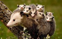 Baby Possums On Their Mum's Back by Stan Tekiela. Proof that possums are cute!