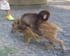 Piggyback pals  What's cuter than a baby monkey? A baby monkey riding on a small pig, of course. This adorable video of two unlikely furry friends went viral in 2010, and when Parry Gripp penned a ridiculously addictive song to accompany it, the video became that much better. Warning: Watch at your own risk. This song will be in your head for days.