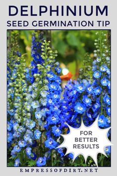 Garden Wallpaper Delphinium seeds can be difficult to germinate. Use this method before sowing your seeds for better success rates. Gardening For Beginners, Gardening Tips, Vegetable Gardening, Container Gardening, Amazing Gardens, Beautiful Gardens, Fruit Plants, Fruit Garden, Garden Plants