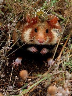 Feldhamster / European hamster / villihamsteri   Bild: picture-alliance/dpa