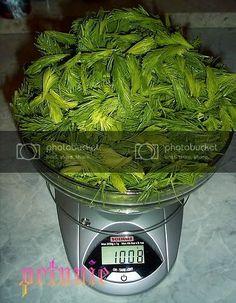 Sirop de muguri de brad in imagini - Retete in imagini - Culinar.ro Forum Cabbage, Herbs, Vegetables, Food, Essen, Cabbages, Herb, Vegetable Recipes, Meals