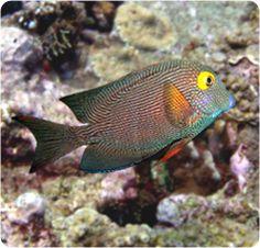 Yellow Eye Kole Tang, Yelloweye Tang - Ctenochaetus strigosus