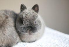 Bluebell Bunnies, Netherland Dwarf