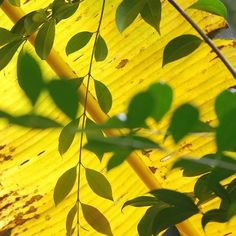 Fondo amarillo... (Fotografía © Leosorio) #photo #photos #pic #pics #picture #pictures #snapshot #art #beautiful #instagood #picoftheday #photooftheday #color #all_shots #exposure #composition #focus #capture #moment #nature #leosorio #landscape #mornig #color #leaves #banana_leaf #colombiastreetphoto. #colombia_greatshots