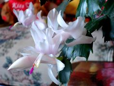 Cactus on pinterest christmas cactus cactus and candy cane