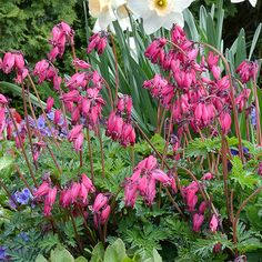 Dicentra Amore RoseGrowing Conditions: Shade, Partial shade Size: 9–12 inches tall, 12–14 inches wide Zones: 5–9