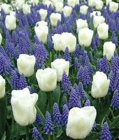 The combination of white tulips and blue muscari is often found in the world's best botanical gardens by oldrose