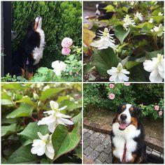 八重咲きドクダミでおはよう どこにでも増殖して あんまり人気ない花だけど 清楚な白の花は今の時季 パキッと映えて好きな花です 6月もランちゃん よろしくです  .  #おはようございます#ドクダミ#bernesemountaindog #berner #bernese #bernersennen #bernesedaily #bernersofinstagram #berneroftheday #dog #dog_features #dogofinstagram #bigdog #instadog #instadogbreeds #lacyandpaws #dogofinstaworld #poshpamperedpets #バニ部#LANDA . by dossowl