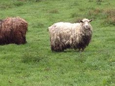 Photo: Ett vanligt problem vid den här perioden är får som inte blir klippta. Dessa får blev klippta efter att vi gjort en kontroll då en anmälan inkommit på fåren. Dom kommer nu klara sommarvärmen betydligt bättre utan tung, tjock och smutsig ull!