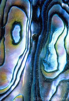 abalone shell- represents the contours of maps