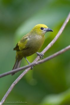 Palm Tanager, Costa Rica