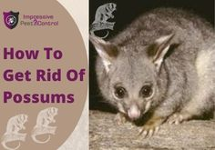 Are you searching for DIY tips to remove and prevent possums? Read our tips for How to get rid of possums from your place. You can also hire Impressive Pest Controller. How To Get Rid, How To Remove, Pest Control, Brisbane, Searching, Tips, Animals, Animales, Search