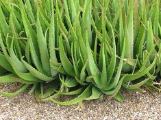 What should be considered when growing aloe vera?- Was ist beim Anbau von Aloe Vera zu beachten? What should be considered when growing aloe vera? Growing Aloe Vera, Aloe Vera Uses, Aleo Vera, Terrarium Wedding, Cactus Plante, Ficus, Houseplants, Herbalism, Succulents