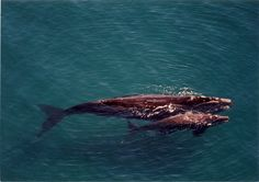 A mother and calf pair of southern right whales in the waters of coastal Patagonia.