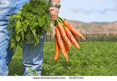 Close up of a carrot farmer with a bunch of freshly picked carrots in a carrot field