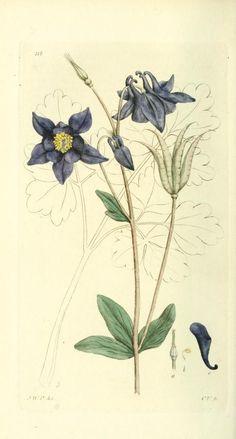 v.2 (1803) - Svensk botanik. - Biodiversity Heritage Library