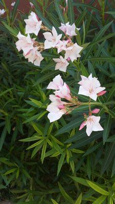 Cyprus Plants Cyprus Holiday, Flower, Flowers