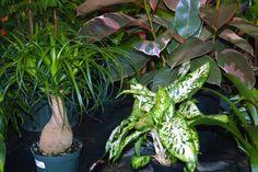 Indoor Tropicals