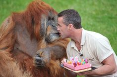Un orang-outan de Sumatra, a fêté ses 50 ans mardi au zoo de la Boissière-du-Doré (ouest de la France). Un âge plus que respectable qui fait de lui le plus vieil orang-outang au monde. Père de seize enfants, l'imposant singe de 125 kg s'est vu offrir pour l'occasion, et comme chaque année, un fraisier dont il a soufflé les bougies à plusieurs reprises avant de déguster le gâteau à la cuillère. Né en 1962 dans la forêt indonésienne, Major a été captu