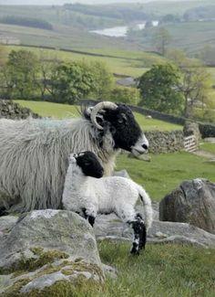 Alpacas, Beautiful Creatures, Animals Beautiful, Farm Animals, Cute Animals, Wild Animals, Wooly Bully, Sheep Breeds, Sheep And Lamb
