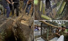 Amazing photos show brave rescuers risking their lives to save leopard