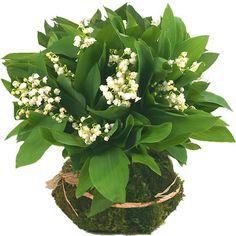 1er mai - muguet porte-bonheur ....,,,,yes  j adore  pour  la  SAINTE   JACQUELINE ,,,,,**+