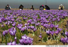 World's Saffron Demands Supplied by Iran