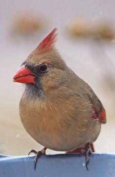 Female Cardinal~cl