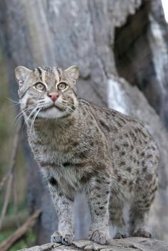 Fishing Cat [Prionailurus viverrinus] may weigh as much as 35 lbs. Big House Cats, Big Cats, Cool Cats, Cats And Kittens, Mon Zoo, Rusty Spotted Cat, Wild Cat Species, Small Wild Cats, Cat Vs Dog