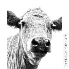 Fine Art Canvas Eyelashes Cow - Western Home Decor - Farm - Farmhouse - Black and white - animals