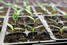 The Keys To Starting Vegetable and Flower Seeds Indoors