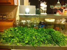 harvested plantain and chickweed for tinctures and cough syrups