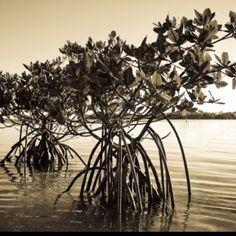 Mangroves...its time for spring break already