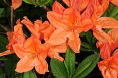 Rhododendron japonicum Biopix photo/image 82521