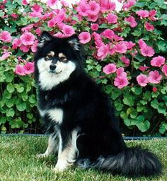 finnish Lapphund photo | Finnish Lapphund - Canada's Guide to Dogs