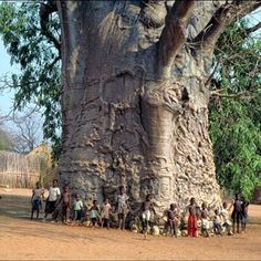 2,000 year old tree in South Africa called The Tree of Life. The boabab tree.