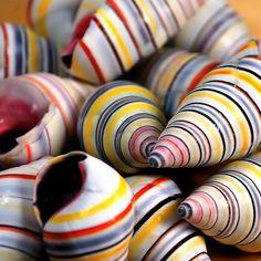 the shells of the Haitian Tree Snail, Liguus virgineus