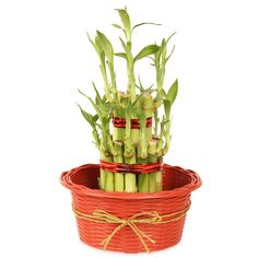 Buy #Christmas good luck plants to save your loved ones. http://bit.ly/1zT1Xj0
