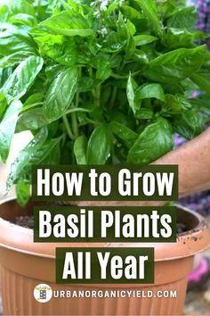 Diy Herb Garden, Home Vegetable Garden, Edible Garden, Indoor Vegetable Gardening, Gardening Vegetables, Container Gardening, Growing Herbs, Growing Vegetables, How To Trim Basil