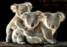 Koalas - SCIENCE EDUs NOTE: Facts About Mammals