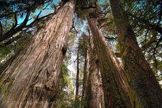 Bosque gigante de Alerces - Parque Tagua Tagua (Patagonia - Chile)