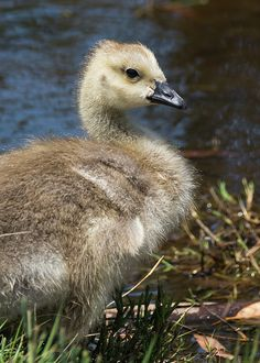 Gosling Canada Goose https://www.facebook.com/bruce.frye.photography
