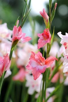 Sword Lily 'Charming Beauty', Gladiola 'Charming Beauty', Gladiolus nanus Charming Beauty, dwarf gladiolus Charming Beauty, dwarf glad, glaieul Charming Beauty