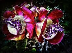 © Shirley Drevich 2012 – 'Cannon Ball Flowers' – Apps Used – ProCamera, Snapseed, Filterstorm