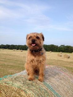 Border Terrier Dog #Puppy Border Terrier Puppy, Airedale Terrier, Terrier Dogs, Canaan Dog, Dog Breed Info, Cute Borders, Popular Dog Breeds, Animal Antics, Dogs And Puppies