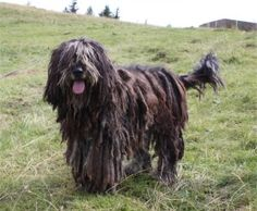 Bergamasco Shepherd Dog Breed The Bergamasco is a breed of dog with its origins in the Italian Alps near Bergamo, where it was originally used as a herding dog. Wikipedia