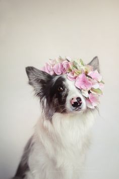 """"""" Queen :by Martyna Ożóg """"   cute puppies and dog training advice by KaufmannsPuppyTraining.com"""